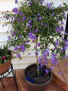 a duranta tree i want one of these jardin pinterest