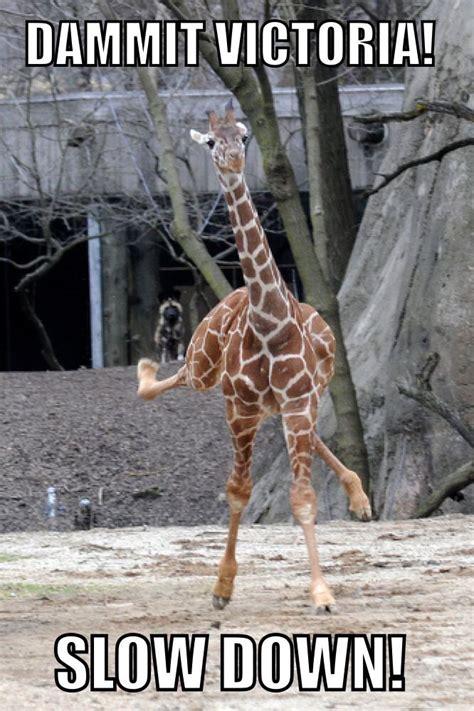 Giraffe Hat Meme - 332 best giraffes images on pinterest giraffes pets and
