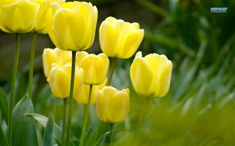 what color are tulips lovely yellow tulip wallpaper colors wallpaper 34512412