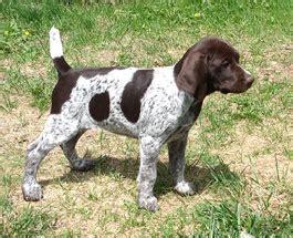 german shorthair puppies iowa top gun kennel german shorthaired pointer puppies