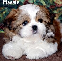 shih tzu puppies for sale in nebraska visit our available puppies link or the link above to see current puppies