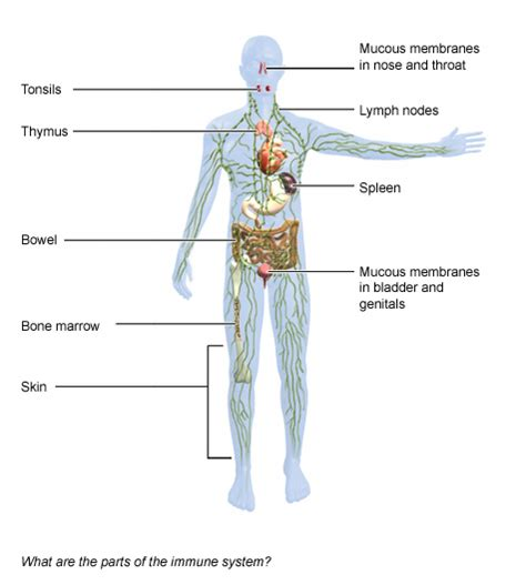 wo liegen mandeln what are the organs of the immune system informedhealth org