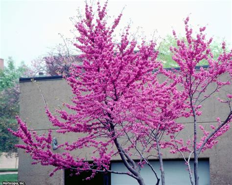 14 flowering trees for year round color hgtv