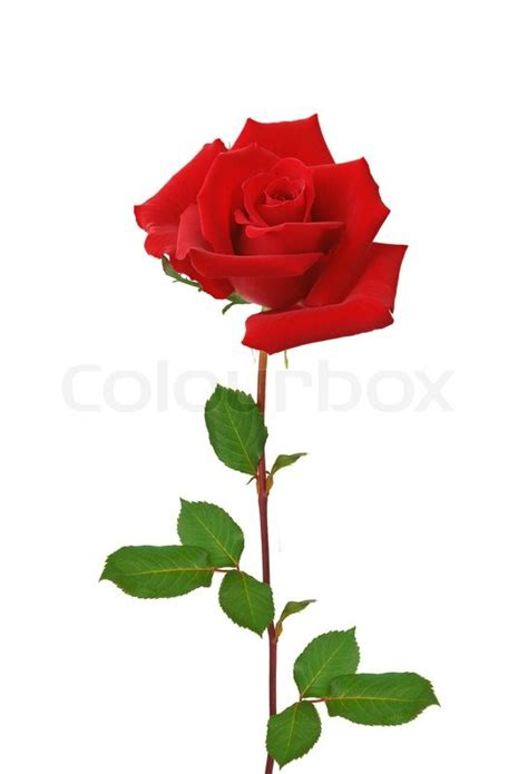 Clear Round Vase Beautiful Red Rose Isolated On White Background Stock