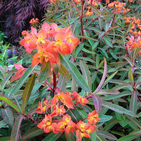 euphorbia griffithii dixter spurge information