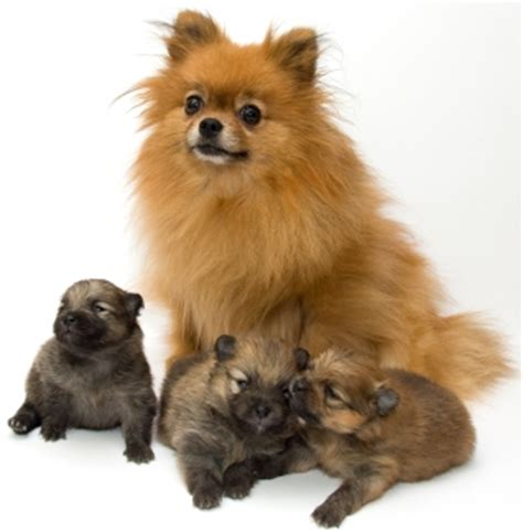 Flat Mix Pom chihuahua pomeranian mix pomchi puppies black puppy
