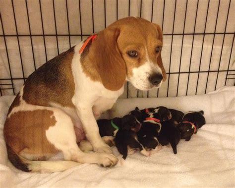 newborn beagle puppies newborn beagles www pixshark images galleries with a bite