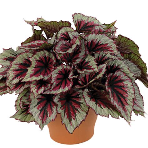Flower Pot by Rex Begonia Begonia Rex Pick Ontario