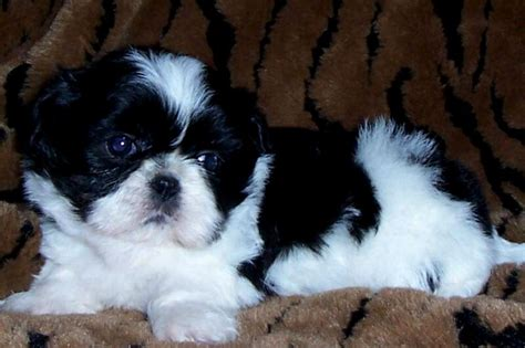 white baby shih tzu shih tzu baby black and white photo happy heaven