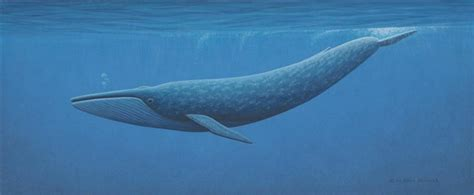 150 Feet In M by Blue Whale Facts For Kids Blue Whale Habitat Amp Diet