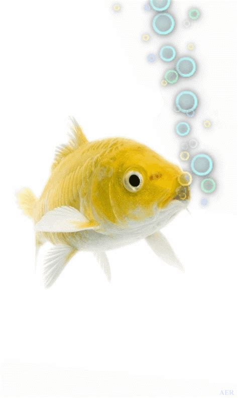 goldfish themes for windows 7 animated goldfish wallpaper and screensaver wallpapersafari