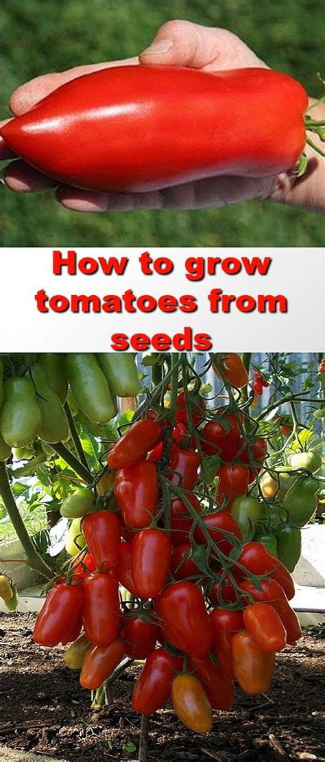 best tomato seeds 25 best growing tomatoes from seed ideas on