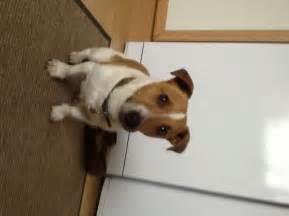 Miniature jack russell terrier for adoption cheltenham