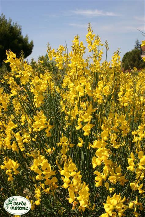 gaggia fiore fiori di ginestra profumo di assoluto