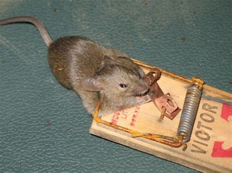 mouse benching mouse trap how to trap a mouse