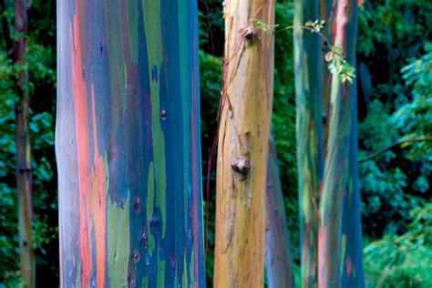 rainbow eucalyptus rainbow eucalyptus trees maui hawaii world for travel