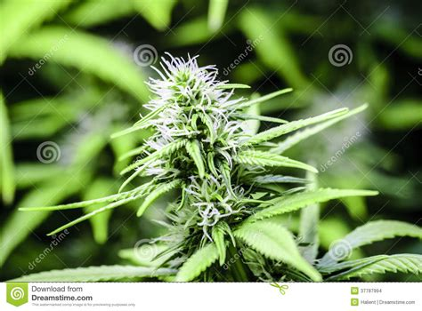 fiori di mariuana flowering cannabis stock images image 37787994