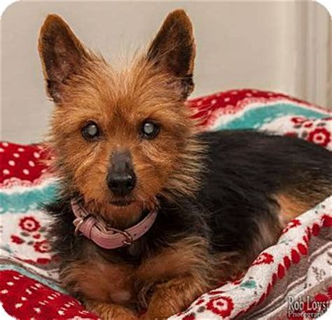 yorkie rescue ny new york ny yorkie terrier mix meet remy a for adoption