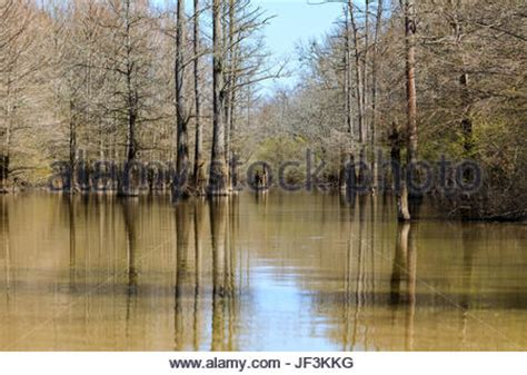 Bald Knob Wildlife Refuge by Bald Cypress Trees Growing In A Sw In Arkansas Show