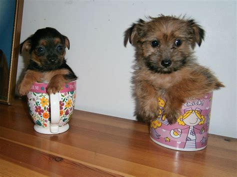chihuahua and yorkie mix for sale terrier chihuahua mix puppies for sale 1001doggy