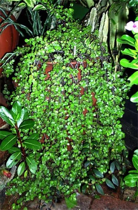 Afra M Dan L 9 lennard s bonsai beginnings baby jade portulacaria afra prostrate form