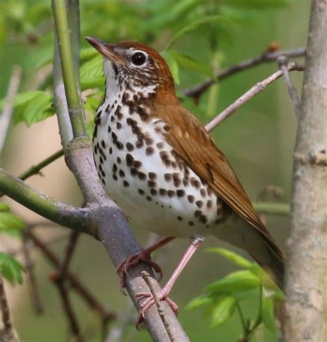 d c bird wood thrush