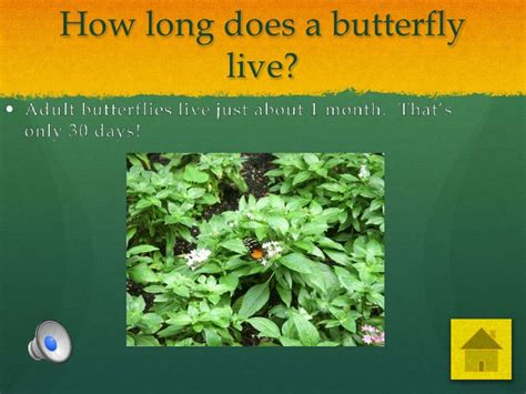 how many years does a live butterfly cycle