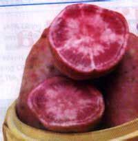 Obat Ubi Q tumbuhan obat dan sains vitamin a dan ramuan obat dari