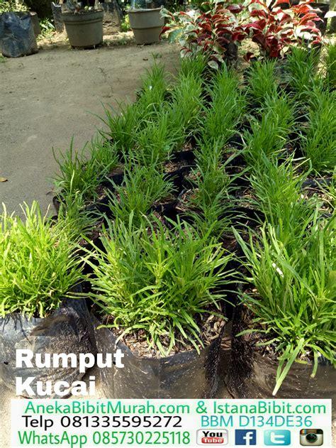 Tanaman Hias Rumput Kucai Mini jual rumput kucai mini harga murah jual bibit tanaman murah