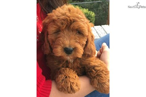 mini goldendoodles dallas mini princess goldendoodle puppy for sale near dallas