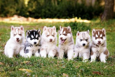 husky puppy care husky puppies temperament care and tips