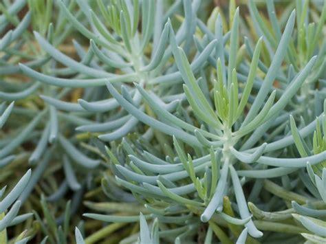 senecio serpens blue chalksticks world of succulents