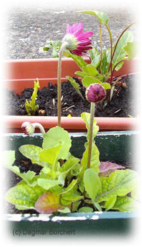 garten versand pflanzen mein kleiner schoener garten winterharte gerbera