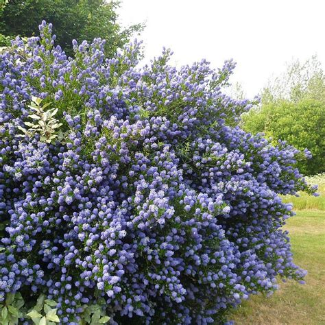Ceanothe En Pot c 233 anothe persistante bleu vente ceanothus thyrsiflorus
