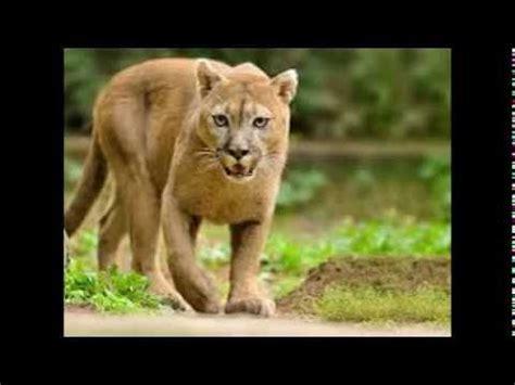 imagenes de nike vs puma puma felino im 225 genes youtube