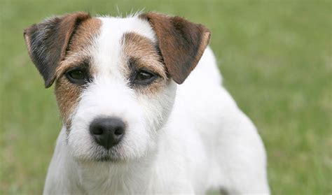 Parson Terrier Shedding by Terrier Breed Information Photos And Facts