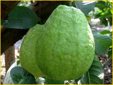 Jual Bibit Tanaman Buah Eksotis jual bibit tanaman buah jambu 0878 55000 800 jual
