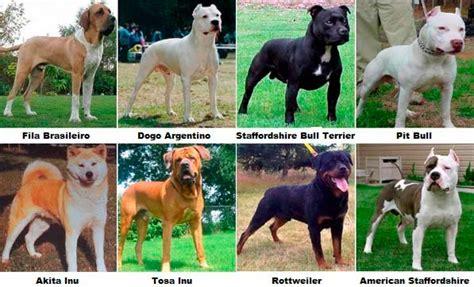 ley de razas de perros peligrosos boo the dogs razas de perros potencialmente peligrosos ley vigente