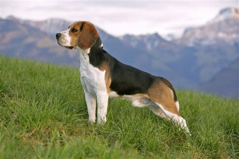 beagle puppy names beagle names best names and tips for choosing