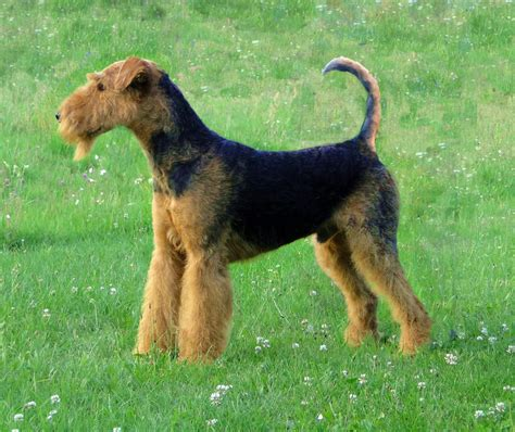 terrier breeds airedale terrier all big breeds