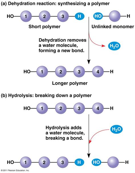 carbohydrates subunit proteins are polymers made of which monomer subunits