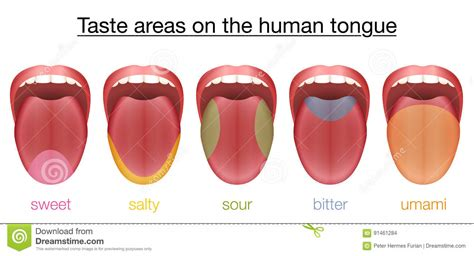Tongue Taste Sections by Bitter Sour Sweet Salty Tongue Taste Map Vector
