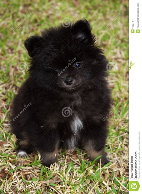 black pomeranian puppy pictures black pomeranian puppy stock images image 602074