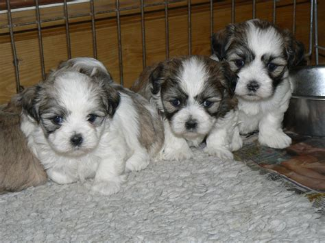 malshi puppies mal shi breeds picture