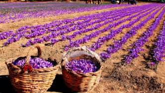 Weed Plant Flowering Stage - saffron farming information guide agrifarming in