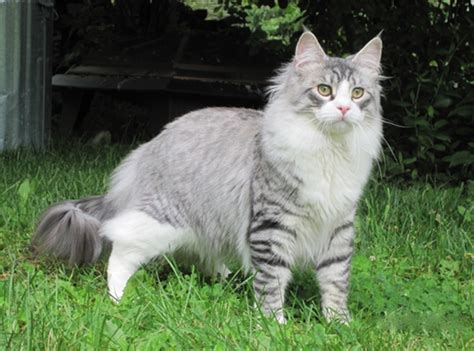 Maine Coon Cat Personality, Characteristics and Pictures