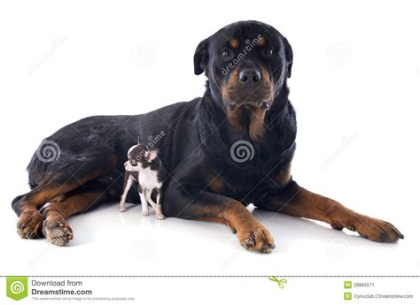 rottweiler chihuahua puppies rottweiler and puppy chihuahua stock image image 28865571