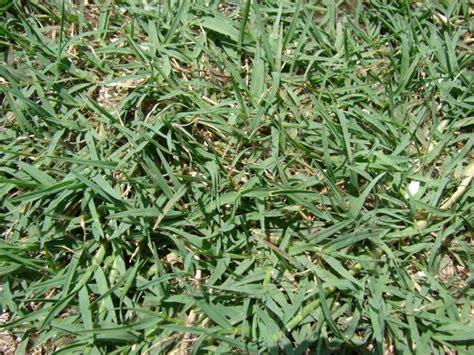 couch grass scientific name bermuda grass cynodon dactylon feedipedia