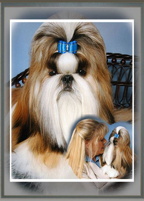 mr foo shih tzu mr foo s shih tzu of indiana kentucky missouri illinios ohio michigan home bred