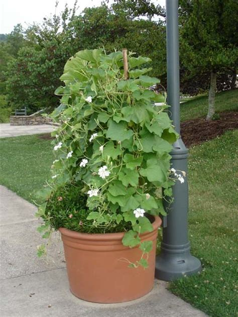 container gardening green beans container inspiration gallery bonnie plants